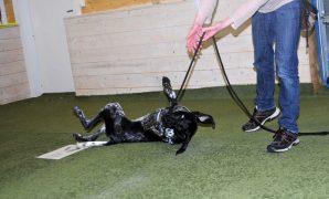 Her er en liten video med tips og triks til å lære hunden å rulle rundt. Mange hunder synes dette er veldig morsomt, og lærer det raskt. Vær oppmerksom på at noen hunder kan føle det ubehagelig å skulle sette seg selv i en så sårbar situasjon som de faktisk gjør når de ligger på siden eller på ryggen. Hvis […]