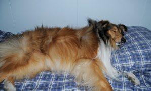 Sover hunden din godt nok? Det er det kanskje mange av oss som ikke har tenkt over før. Kvaliteten på søvnen hundene våre får, er viktig for både helse og velferd. Det er mange misoppfatninger blandt folk når det gjelder hunder og søvn, og minst like mange «rare» (men sikkert velmenende) råd. Ofte går disse rådene på å begrense hundens […]