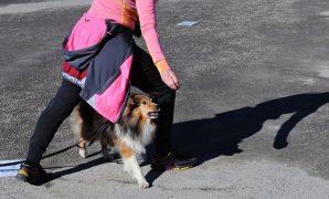 Rallylydighet er en morsom og spennende hundesport med øvelser fra tradisjonell lydighet, kreativ lydighet og agility. I rallylydighet skal hund og fører sammen gå baner som er satt sammen av skilt med ulike øvelser. Det er over 80 forskjellige øvelser, fordelt på fire klasser (klasse 1,2,3 og elite), og banene er nye for hver gang. Dette gjør rallylydighet til en […]