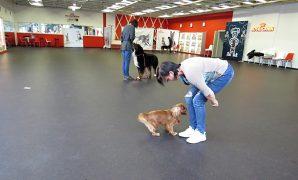 Helgen 30.juni – 2. juli var jeg i Tallinn for å undervise på hundetrenerutdannelsen der (International Dog Trainer School Lisbeth Borg de Waard). Vi bodde på et koselig hotell i gamlebyen, og siden det var min første tur til Tallinn, ble det litt «turist-fotografering»   Jeg skulle undervise i praktisk hundetrening, og til disposisjon hadde vi et veldig stort […]