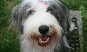 Har du hund med spesielle behov? Hunder med kroniske fysiske funksjonsnedsettelser er noe som står mitt hjerte nær. Jeg har selv hatt hunder som har vært døve, som har hatt epilepsi, og hund som har vært hjertesyk. Nå har jeg en hund som er blind. Jeg ønsker å lære mer om denne varierte gruppen hunder, og samtidig bidra til å […]